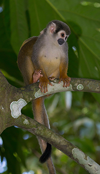 Colombian Squirrel Monkey