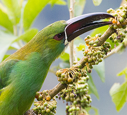emerald toucanet taking fruit