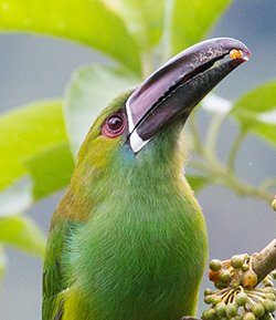 emrald toucanet holding fruit