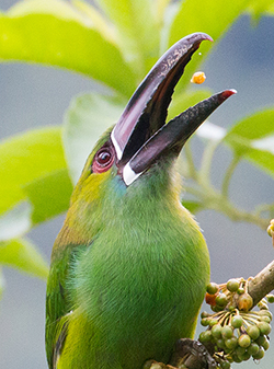 emerald toucanet swallowing fruit