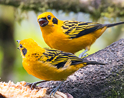 golden tanagers