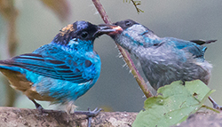 golden-naped tanager feeding young