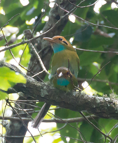 blue-throated motmots mating
