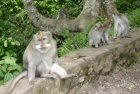macaques at monkey jungle bali