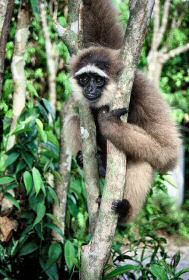 michael the gibbon