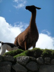 llama and kid at machu picchu