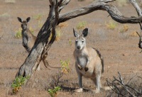 western grey kangaroo and wallaroo