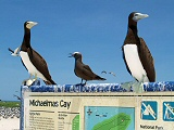 brown boobies and noddy on sign
